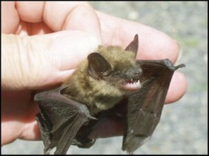 Small Brown Bat Pic